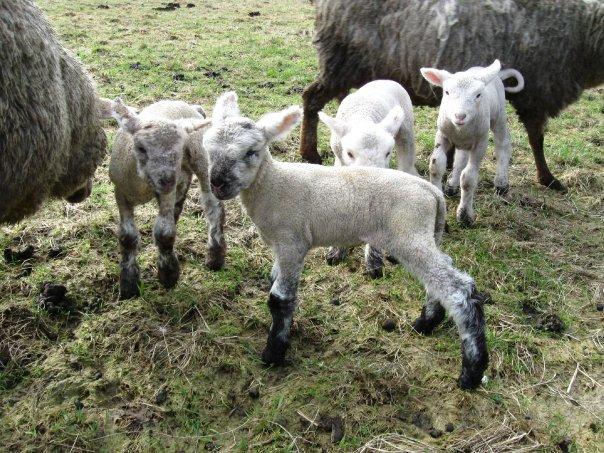 walker farms siletz lambs
