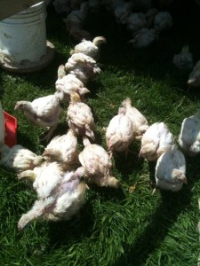 walker farms siletz chickies3